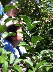 applepicking